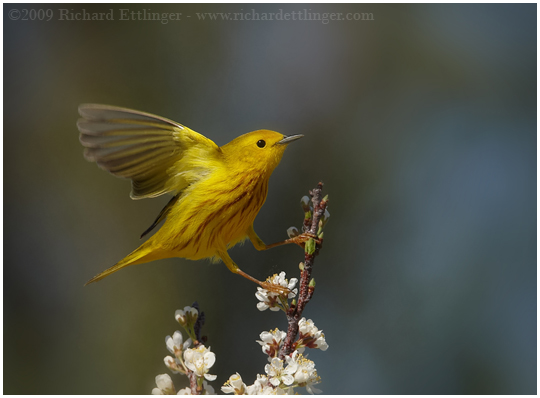 the gallery for gt yellow warbler flying